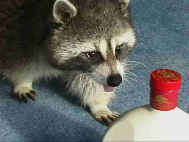 My Photo Journal Raccoons As Pets